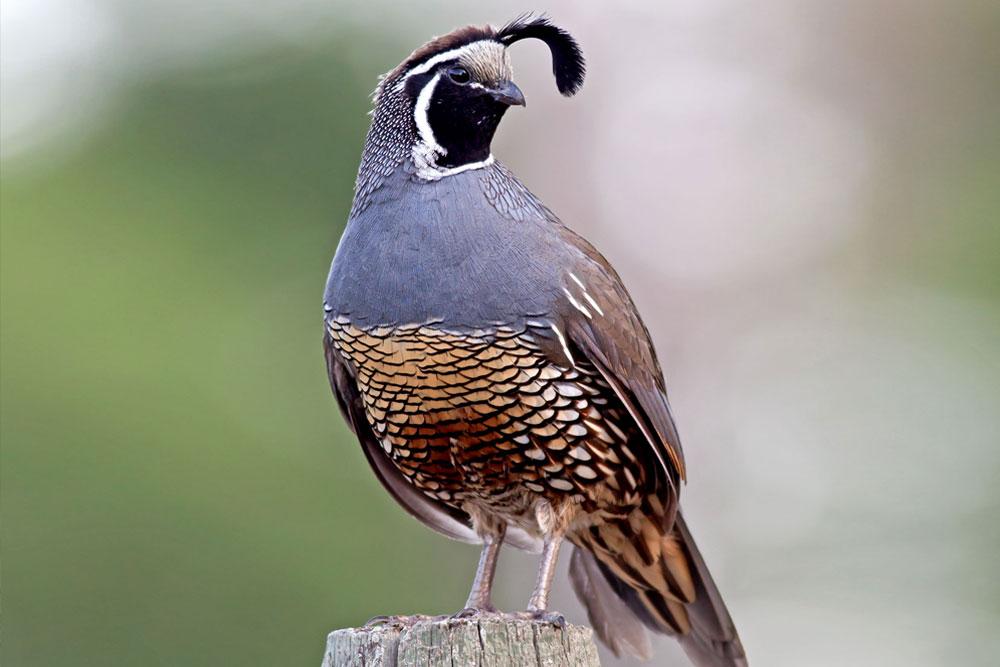 california-quail