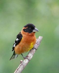 Grosbeak2