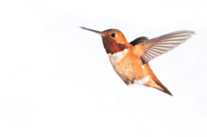 Male-Rufous-Hummingbird-Isolated