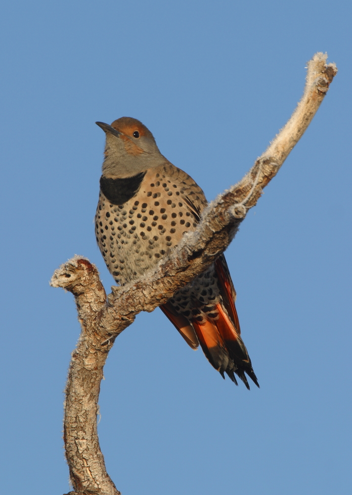 Norther Red Shafted Flicker