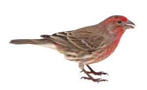 Male House Finch Isolated