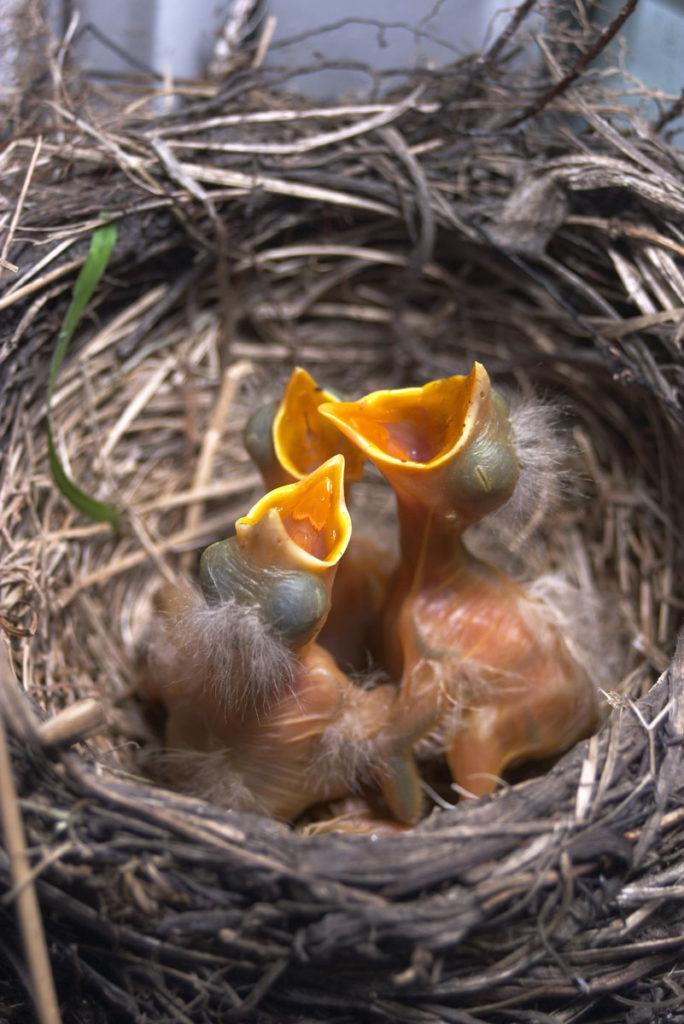 Neonatal Bird
