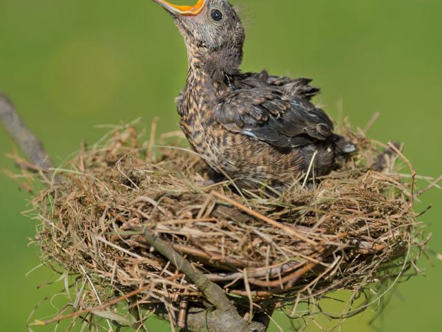 Nestling Pre-Fledge